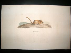 Saint Hilaire & Cuvier C1830 Folio Hand Colored Print. Dormouse